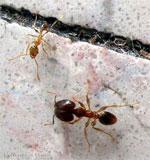 big_headed_ant