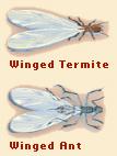 winged-termites